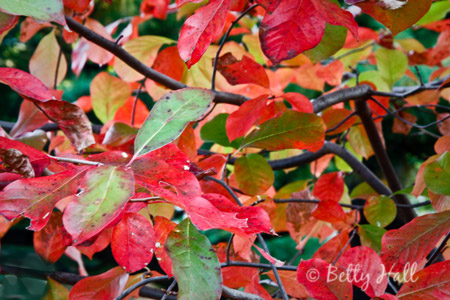 Close-up of red and green tupelo leaves in fall