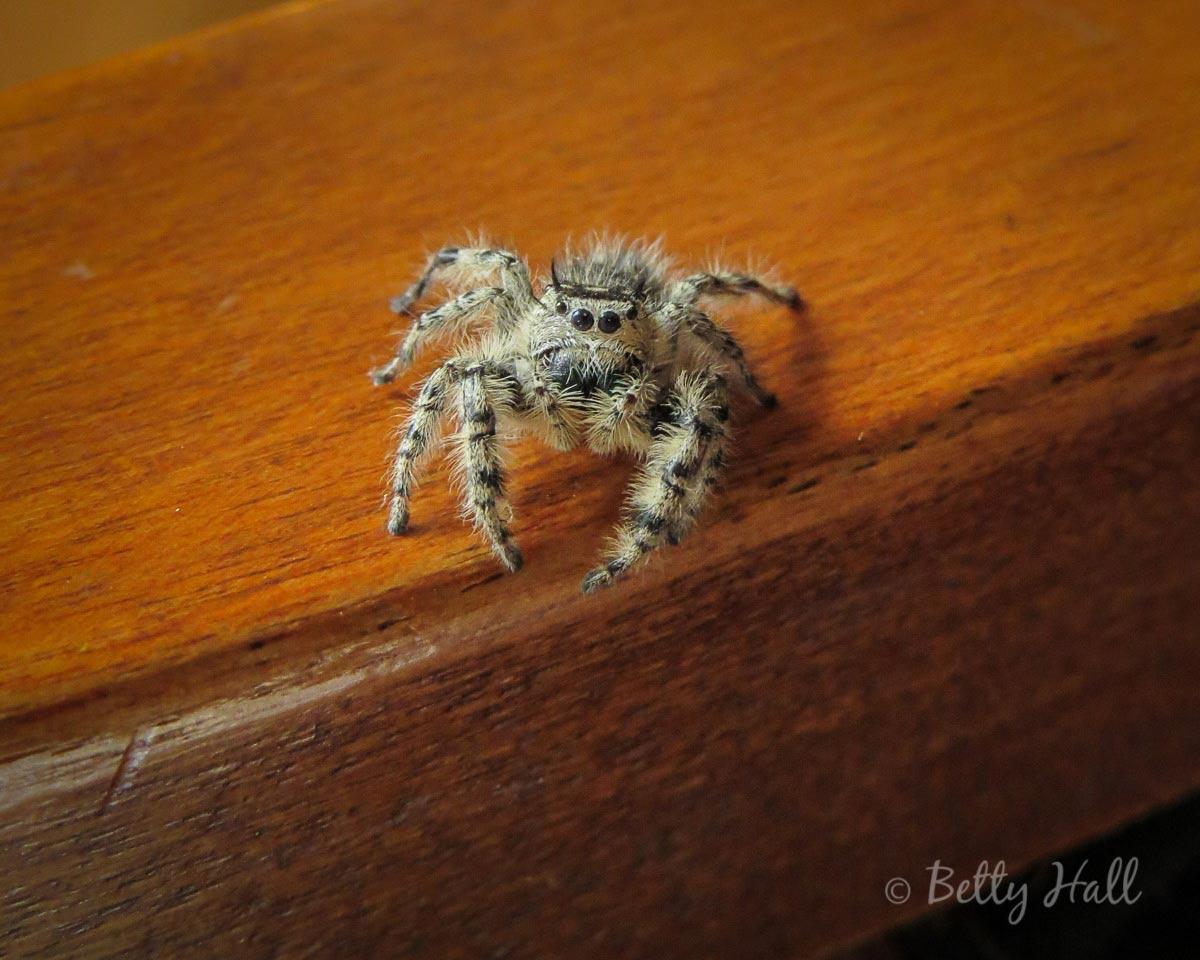 Cute fuzzy zebra spider