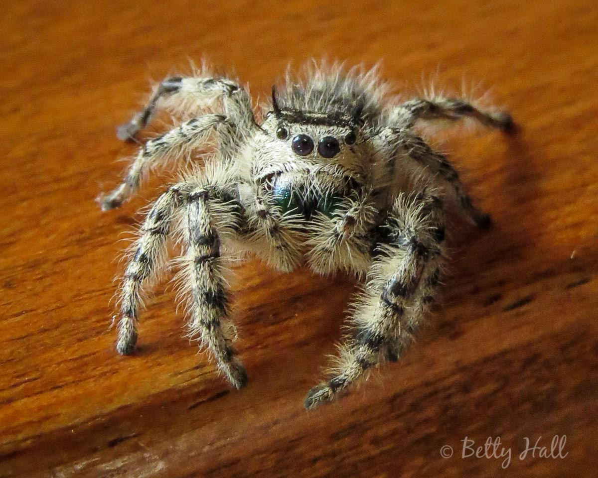 Cute fuzzy zebra spider close up